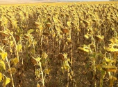 Tired Sunflowers